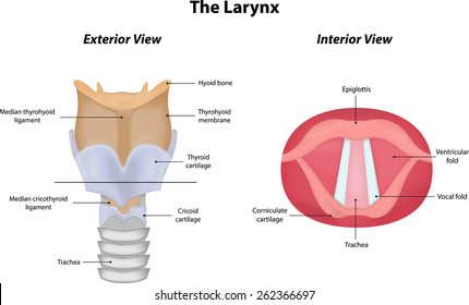 Diagram Of Larynx With Labeling on