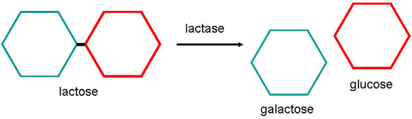lactose and lactase reaction diagram 2004 honda 250ex